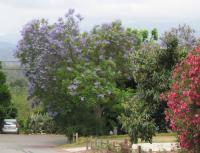 Jacaranda 03
