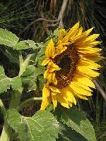 Sunflower 01 2003
