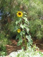 Sunflower 02 2003