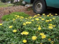 Yellow Daisies 01 2004