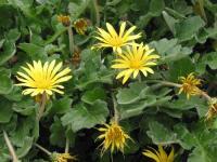 Yellow Daisies 02 2004